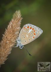 Polyommatus thersites