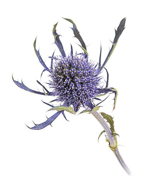 Eryngium, Sea Holly