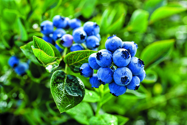blueberries6