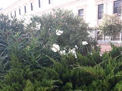 White  Oleanders in La Plaza de Colon, Barrio  Salamanca, Madrid