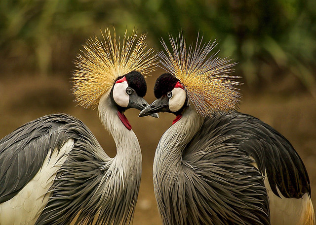 Grey Crowned Crane Pair