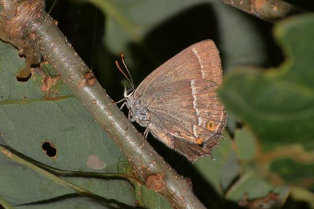 Purple Hairstreak (Neozephyrus quercus)