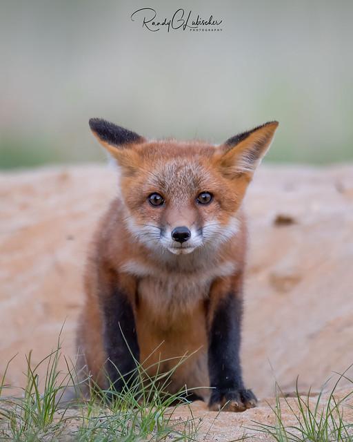 Red Fox | Vulpes Vulpes | 2021 - 54