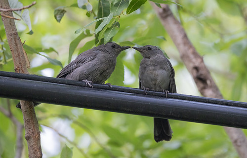 Young catbirds