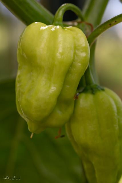 The Chili Farm