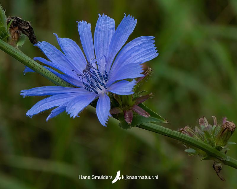 Wilde cichorei (Cichorium intybus)-850_4815