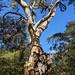 This tree has history