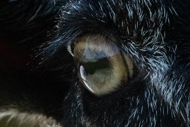 Sheep's Eye