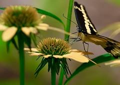 Great Swallowtail 7/31