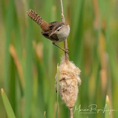 Marsh wren looking for bugs for its young. One of many species of birds found here. Follow my work @mpluzier #birds #birdsofinstagram #birdsphotography #birds_adored #birds_captures #montevistanationalwildliferefuge #coloradoinstagram #coloradophotography