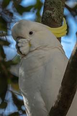 Sulphuric-crested Cockatoo