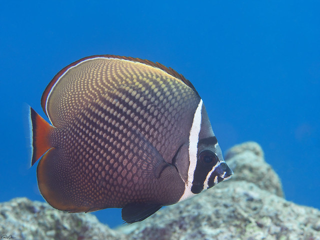 Red-tailed Butterflyfish - Chaetodon collare