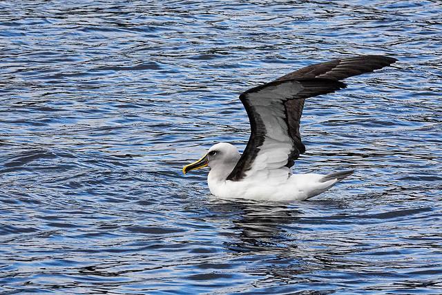 Preening time - Buller's mollymawk (albatross) Dusky Sound