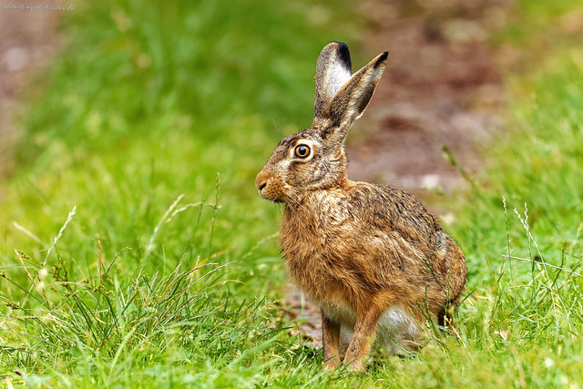 Hare / Feldhase (Lepus europaeus)