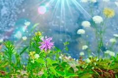 Purple Flower in Sun