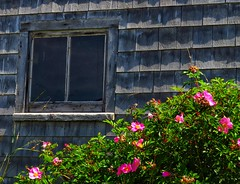 Roses by a Seaside Shed