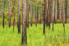 Coastal pine forest 216/365