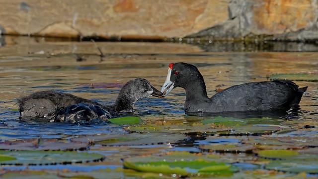 Хохлатая лысуха, Fulica cristata, Red-knobbed Coot