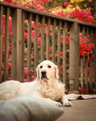 I just found out about @scoutgoldenretriever & am devastated. My heart breaks for Melissa, Scoutu2019s mom, & all of Scoutu2019s followersu2026 All of us who follow each otheru2019s lovable furry beings feel the dreaded grief to the boneu2026 especially, when we empathize wi