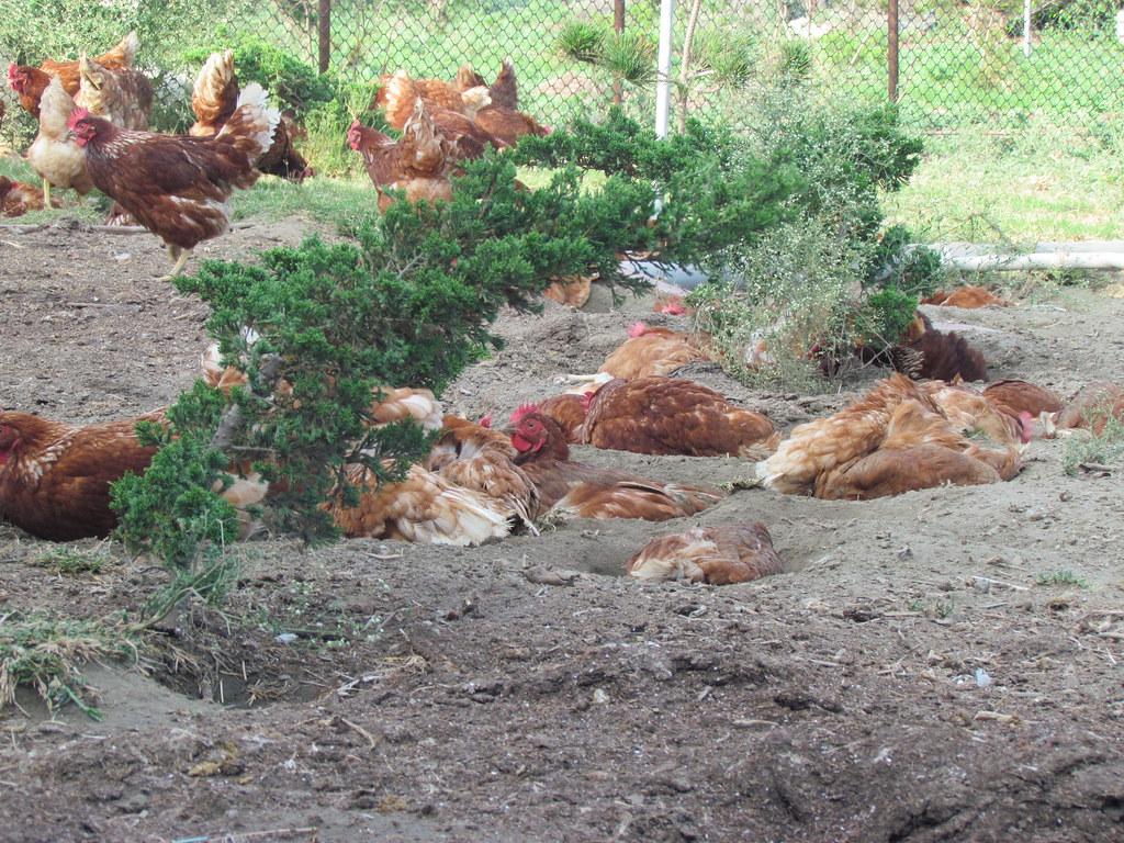 20210804台灣家樂福宣佈2025年停售「籠飼雞蛋」記者會。雞需要透過「沙浴」洗澡,以清除羽毛、皮膚上的污物、蟲蚤。照片提供:家樂福