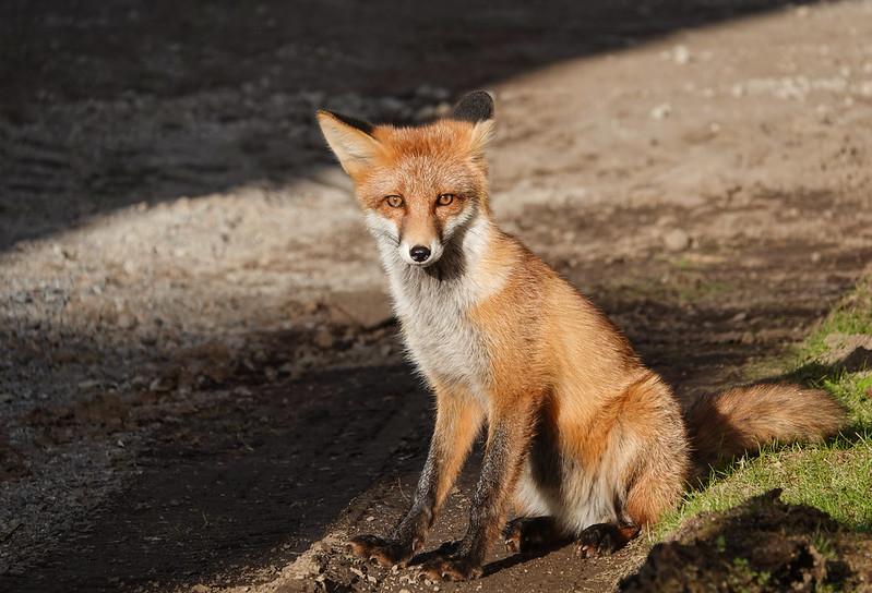 A City Foxy