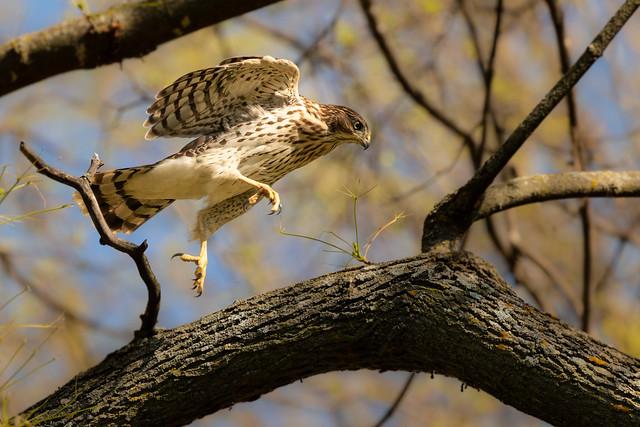 Hopping Cooper's Hawk