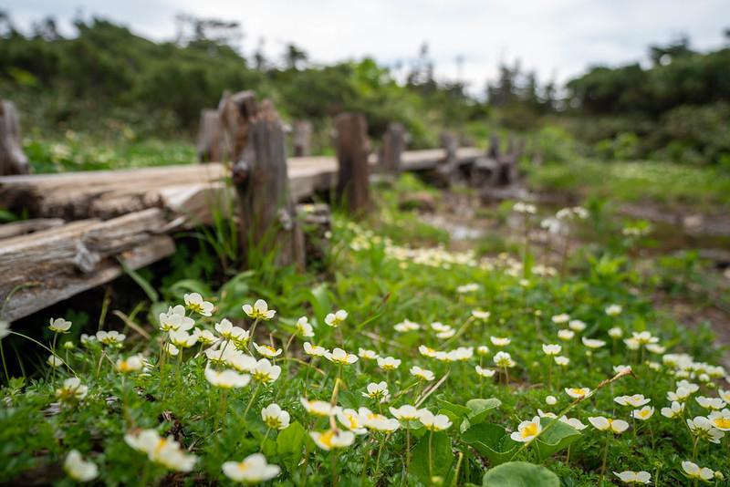 八甲田山のチングルマ