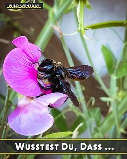 ... Bienen 🐝 auch im Venom-Look ⚫ daherkommen? Die Blaue Holzbiene ist sogar die größte heimische Wildbienenart! Die Art bildet keinen Staat, sondern lebt allein und bohrt kleine Höhlen in morsches Holz. #wildwenzday #natur #draussen