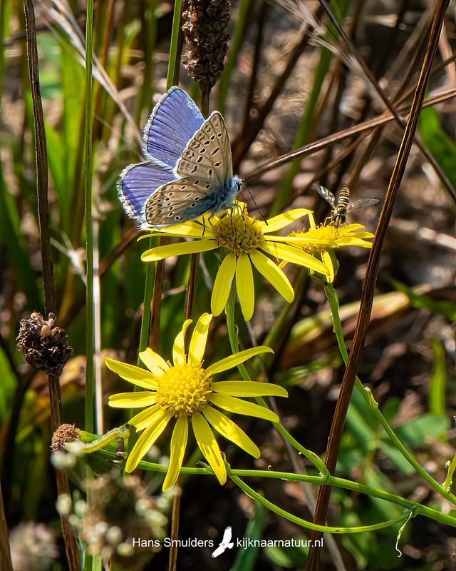 icarusblauwtje (Polyommatus icarus)-850_4780