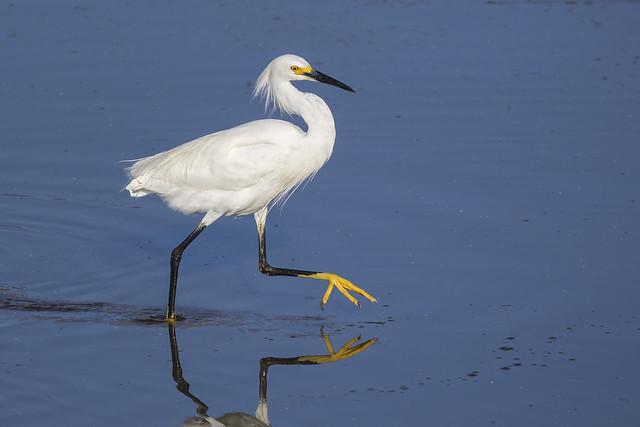 Snowy Egret & Its Jaunty Step