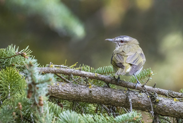 Viréo aux yeux rouges / Red-eyed Vireo