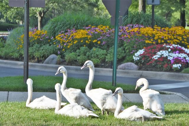 Six young swans - Highland Park, Illinois