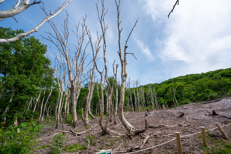八甲田山 立ち枯れの木