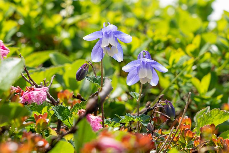 八甲田の花