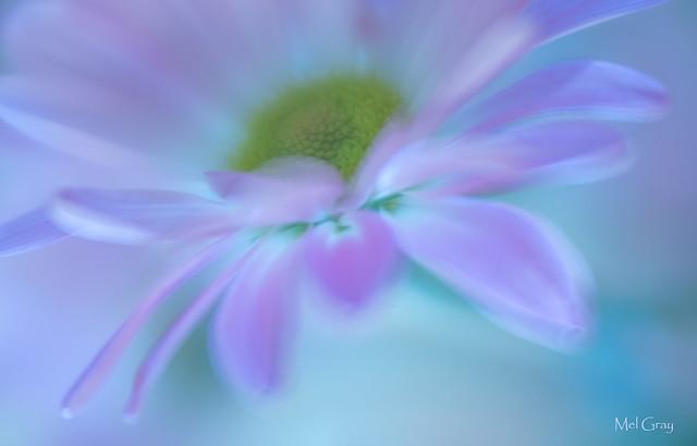 Surreal-daisy_DSC9459