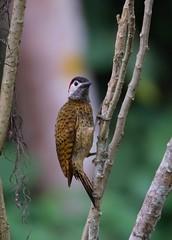Golden-olive Woodpecker, Carpintero olivo o Carpintero Cariblanco. ( Colaptes rubiginosus).
