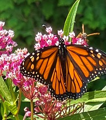 Female Monarch on swamp milkweed