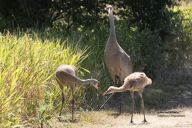 Sandhill Crane two adults and young being fed