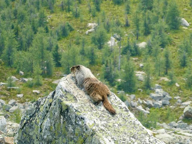 Fairview Mountain Summit Hike -  A Rocky Mountain Lounge Lizard... (aka a Marmot)