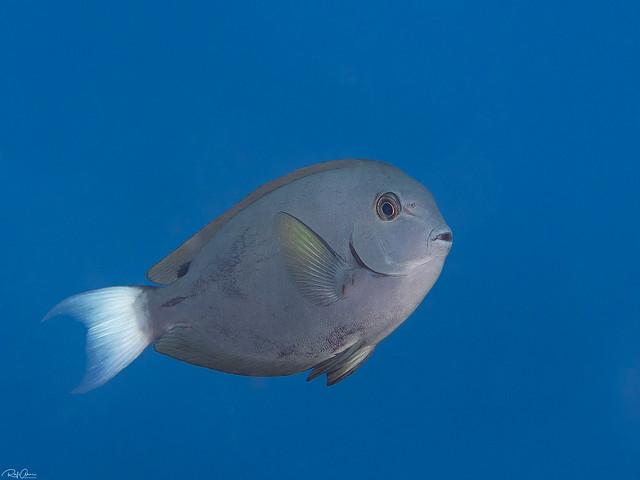 Whitetail Surgeonfish - Acanthurus thompsoni