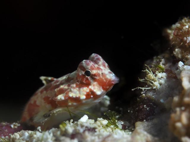 Starry Dragonet - Synchiropus stellatus
