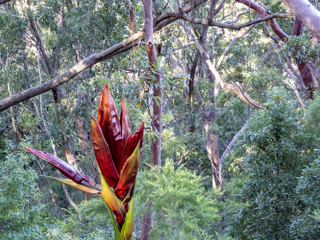 05083655 Gymea Lily, Bottle Forest track, RNP
