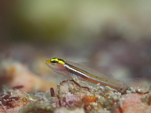 Yellow and Whitestriped Pygmygoby - Eviota mikiae