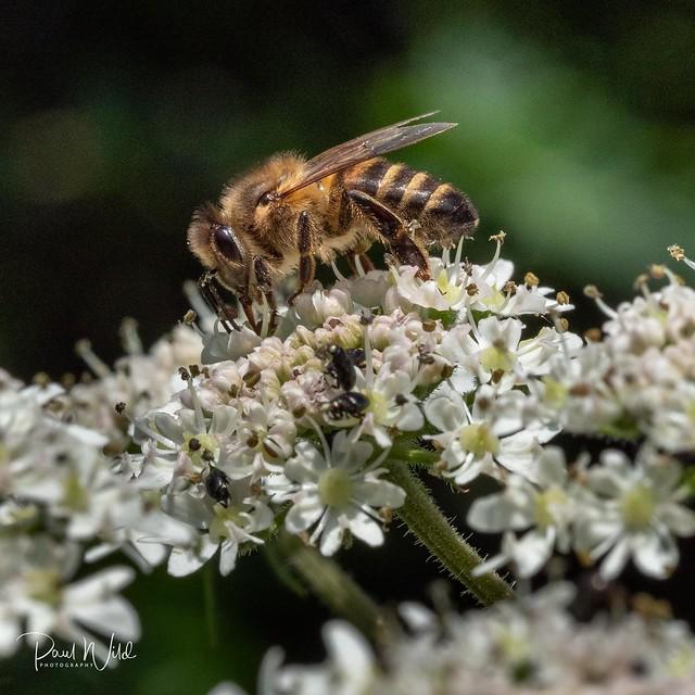 Honey Bee  (Apis mellifera) on Cow Parsley