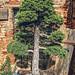 Cedrus libani bonsai tree in a pot