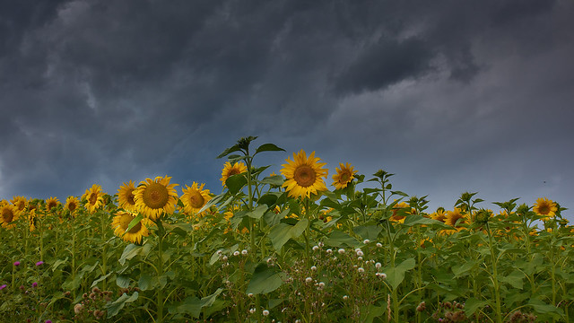 Sunflowers under rain clouds