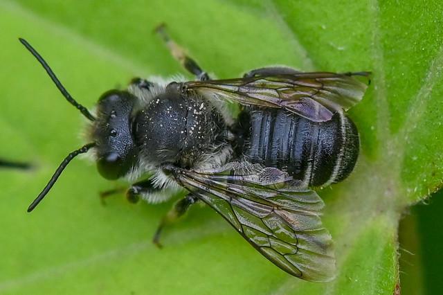 Megachile  --  Bee  --  Abeille
