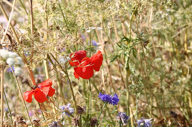 Wildflowers, South Ruislip