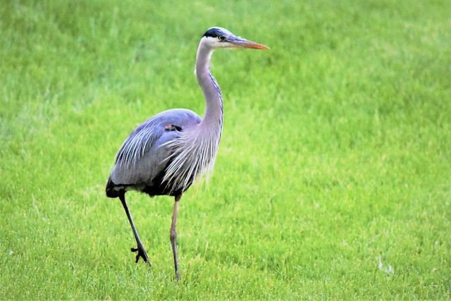 Blue Heron - Lake County, Illinois