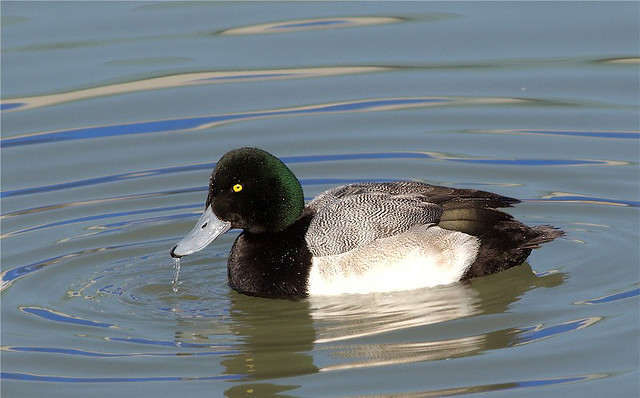 Make Greater Scaup